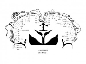 大脳皮質横断面